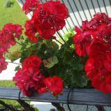 Infrumuseteaza-ti terasa apartamentului cu flori-Muscata